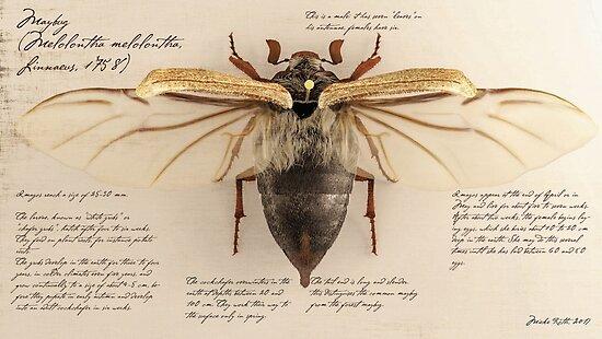 Antique maybug by Mieke Roth