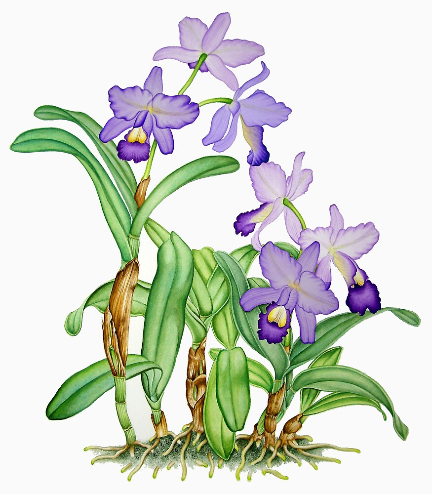 Purple Botanical Cattleya Orchids by joeyartist