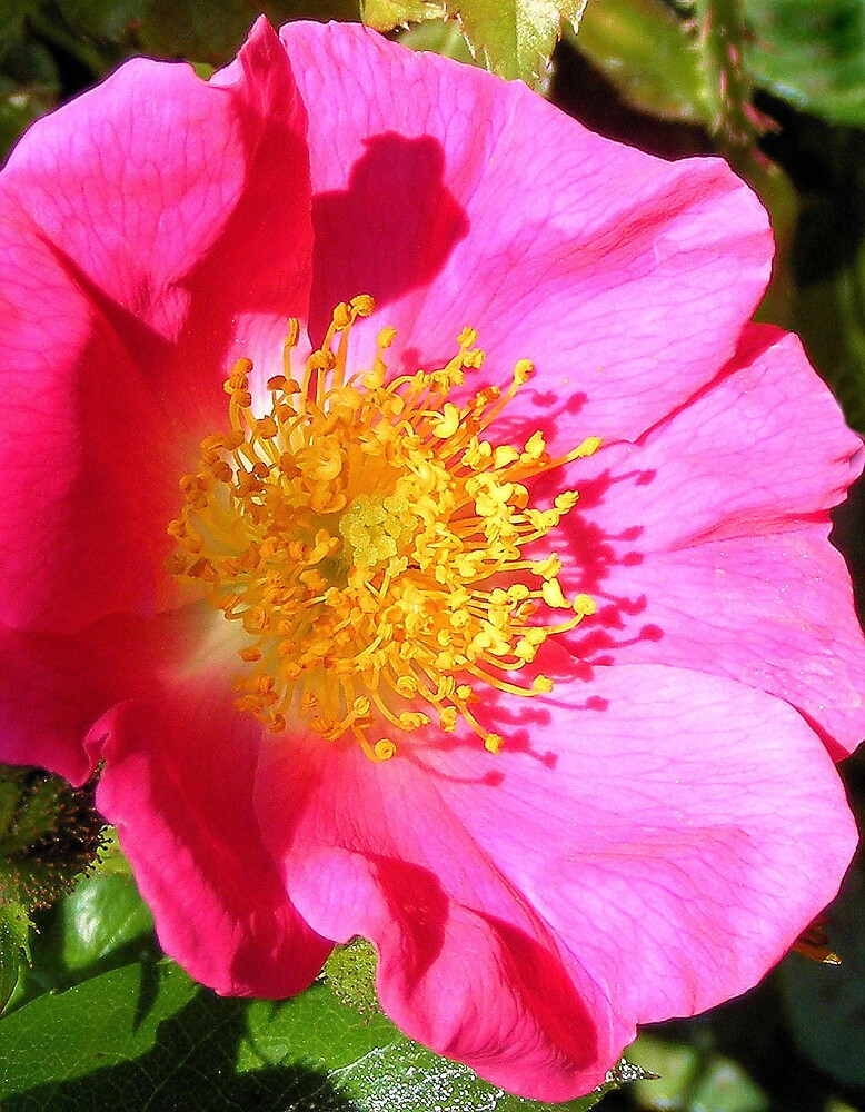rock rose by dean51