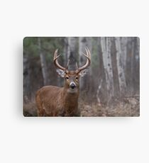 White-tailed buck in the forest Metal Print