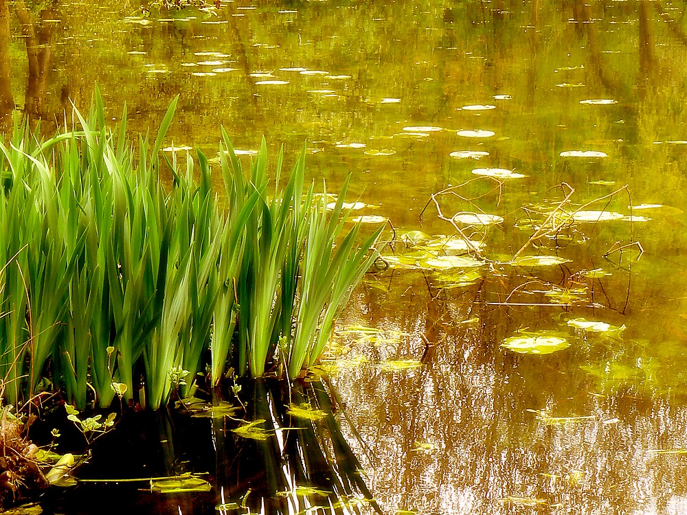 Lily Pond. by mariarty