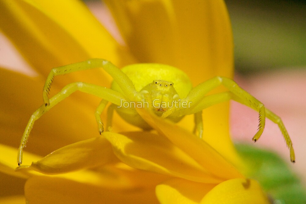 Yellow Crab Spider by Jonah Gautier