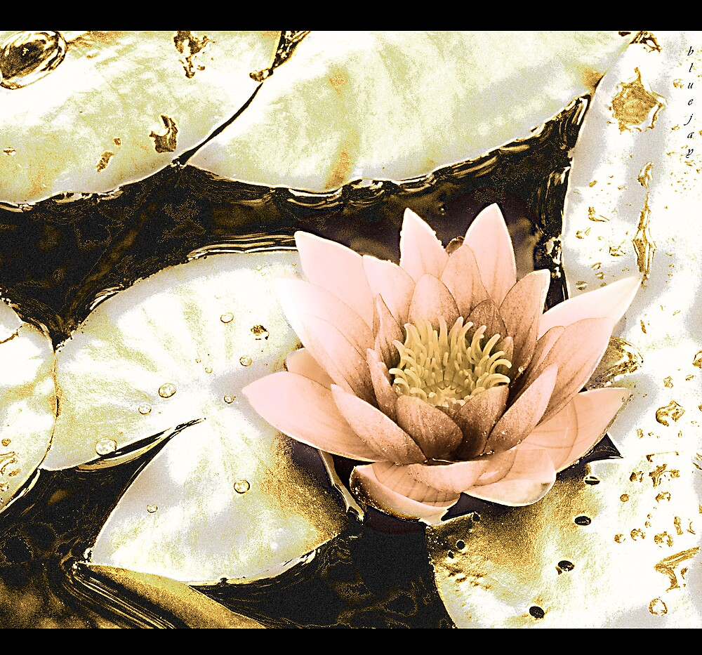 the water lily by bluejay