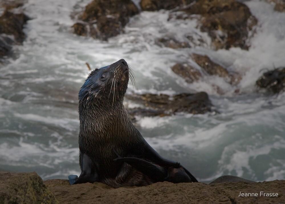 Fur Seal by Jeanne Frasse