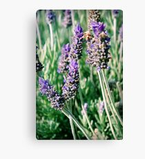 lavender patch... Canvas Print