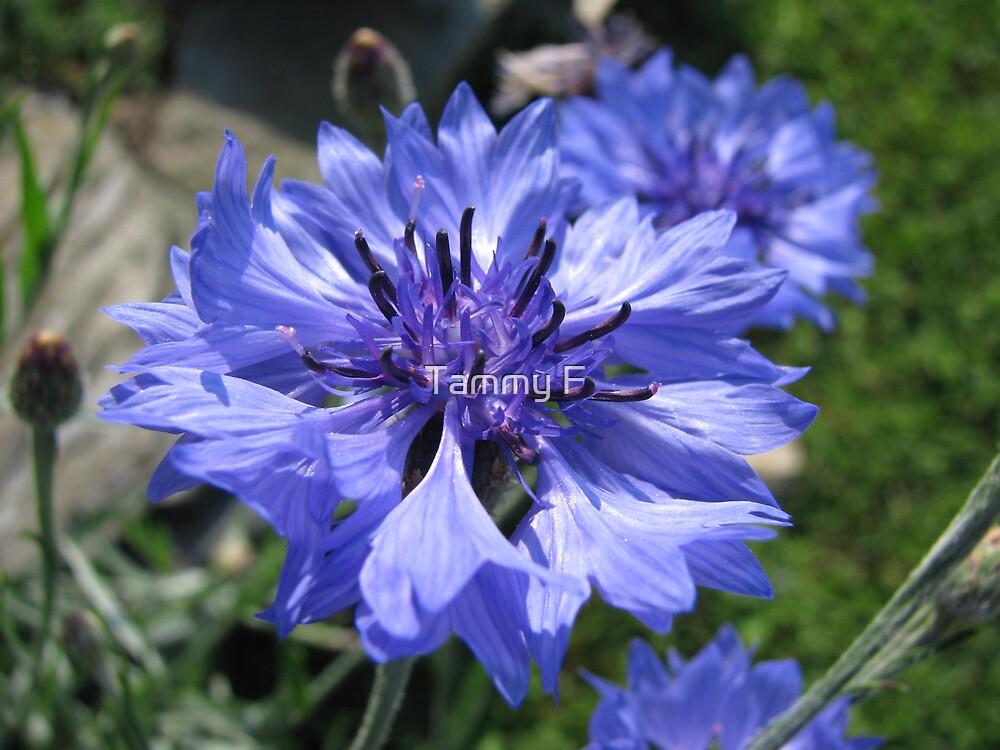 Cornflower Blue by Tammy F