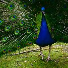 peacock pride by connorsla
