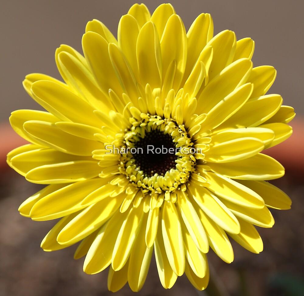 Gerbers Yellow by Sharon Robertson
