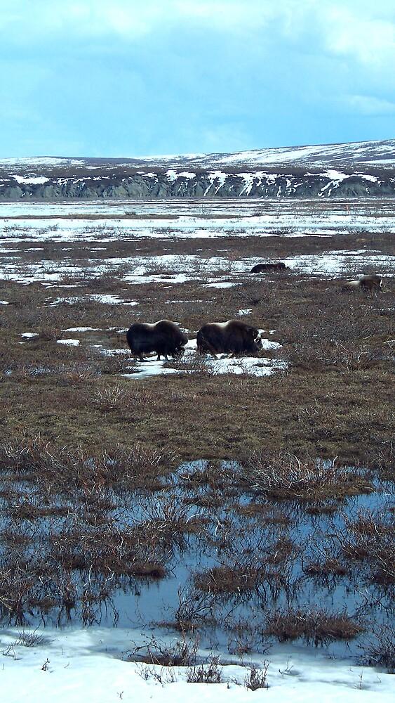 Musk Ox in the Tundra by Liz Wear