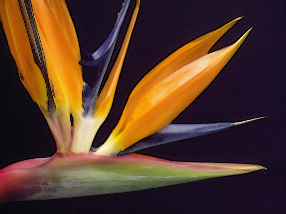 Bird of Paradise 3 by wysiwyg