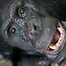 Chimpanze by Steve Bullock