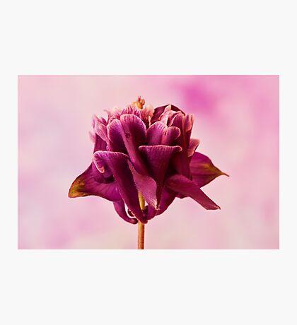 Burgundy Pink Columbine Macro Photographic Print