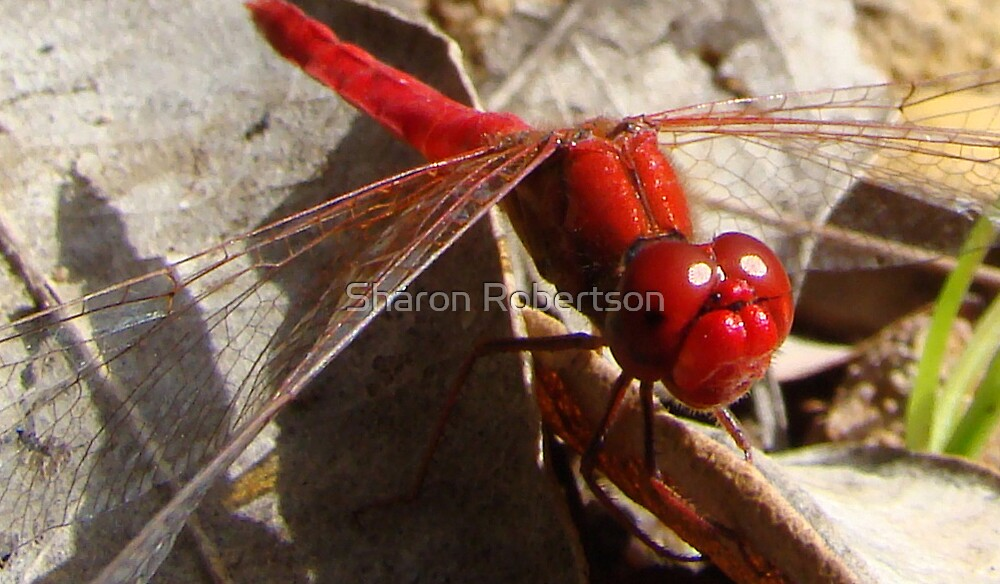 Red Devil Dragonfly by Sharon Robertson