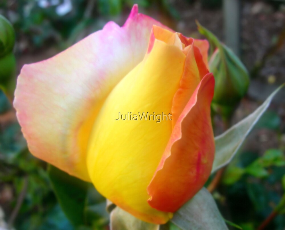 Rose Bud by JuliaWright
