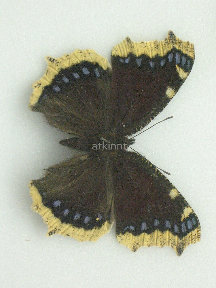 Mourning Cloak Butterfly by atkinnt