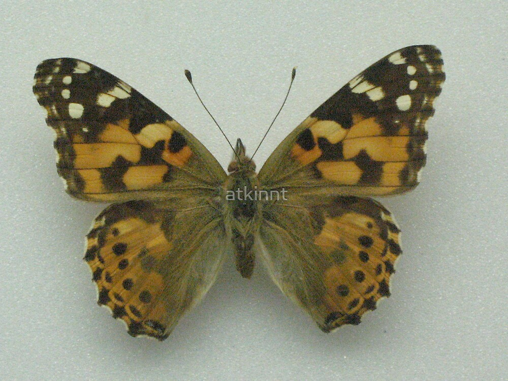 Fritillary Butterfly by atkinnt