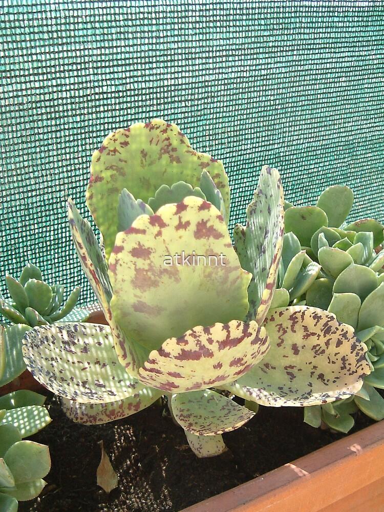 Cactus by atkinnt