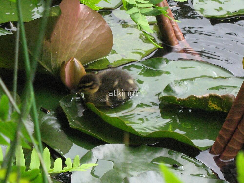 Mallard Ducklings by atkinnt