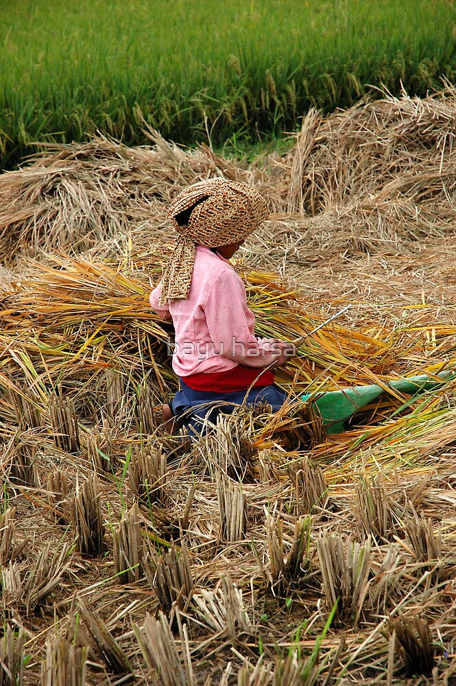 harvesting paddies by bayu harsa
