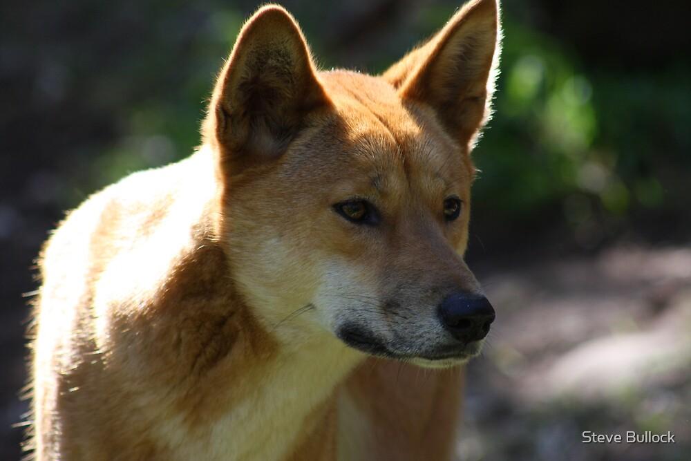 Dingo by Steve Bullock