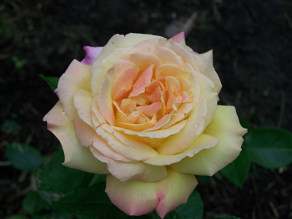 Dewy Rose by Terileedav