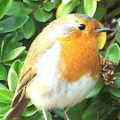 Robin by wysiwyg