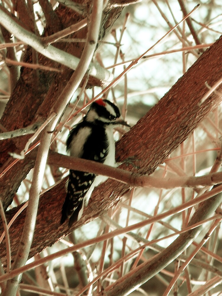 Hairy Woodpecker by ogercaveman