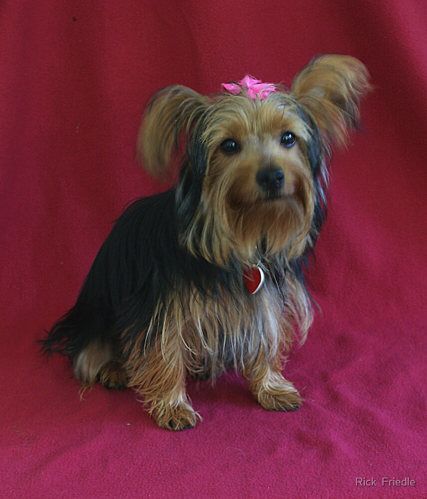 Little Miss Yorkie by Rick  Friedle