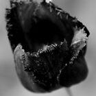 Schwarze Tulpe von Samantha Higgs