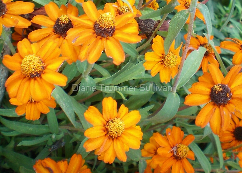 Beautiful Orange Petitie Flowers by Diane Trummer Sullivan