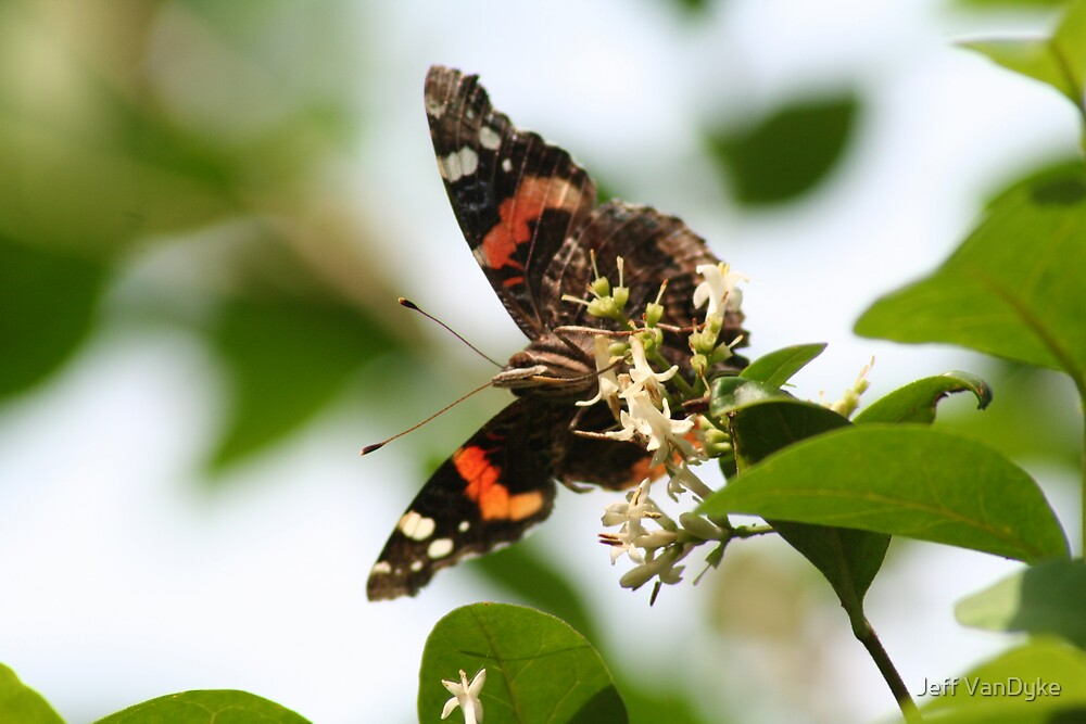 Red Admiral Butterfly by Jeff VanDyke