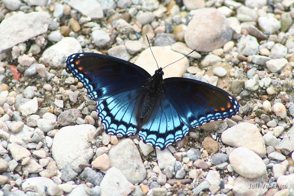 Red-spotted Purple by Jeff VanDyke