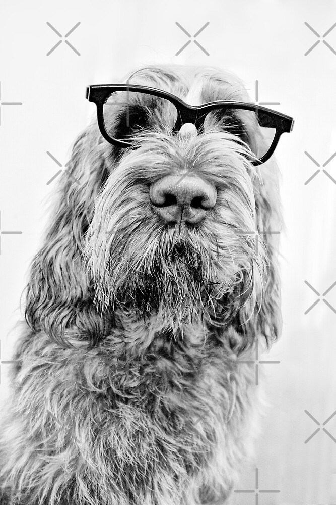 Brown Roan Italian Spinone Dog Head Shot with Glasses