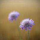 Cornflowers by Mitch  McFarlane