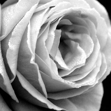 By The Light Of The Rose by purpleelephant