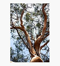 Scenic trunk of eucalyptus tree with green crown Photographic Print