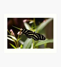 Zebra Longwing Art Print