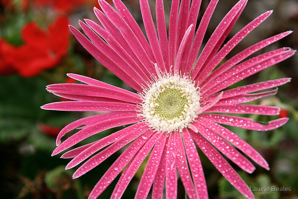 Dark Pink Gerbera with light Centre by Lawrie Beales
