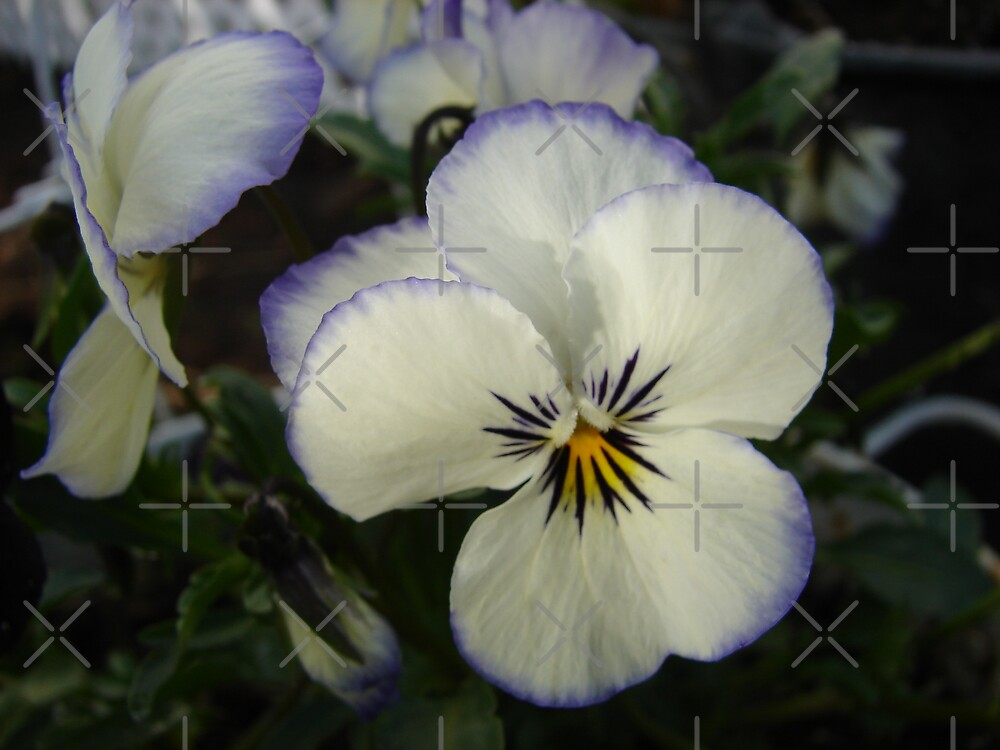 Pansy by Diane Petker