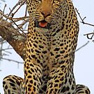 Majestic dominant male leopard(This is my tree!) by Anthony Goldman