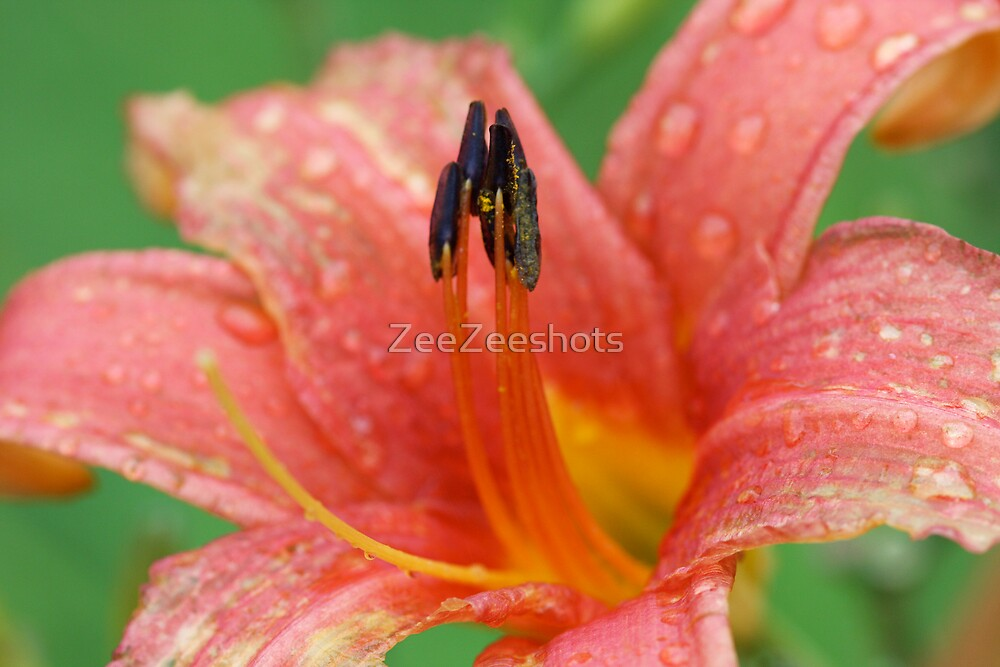 A Lilly by ZeeZeeshots