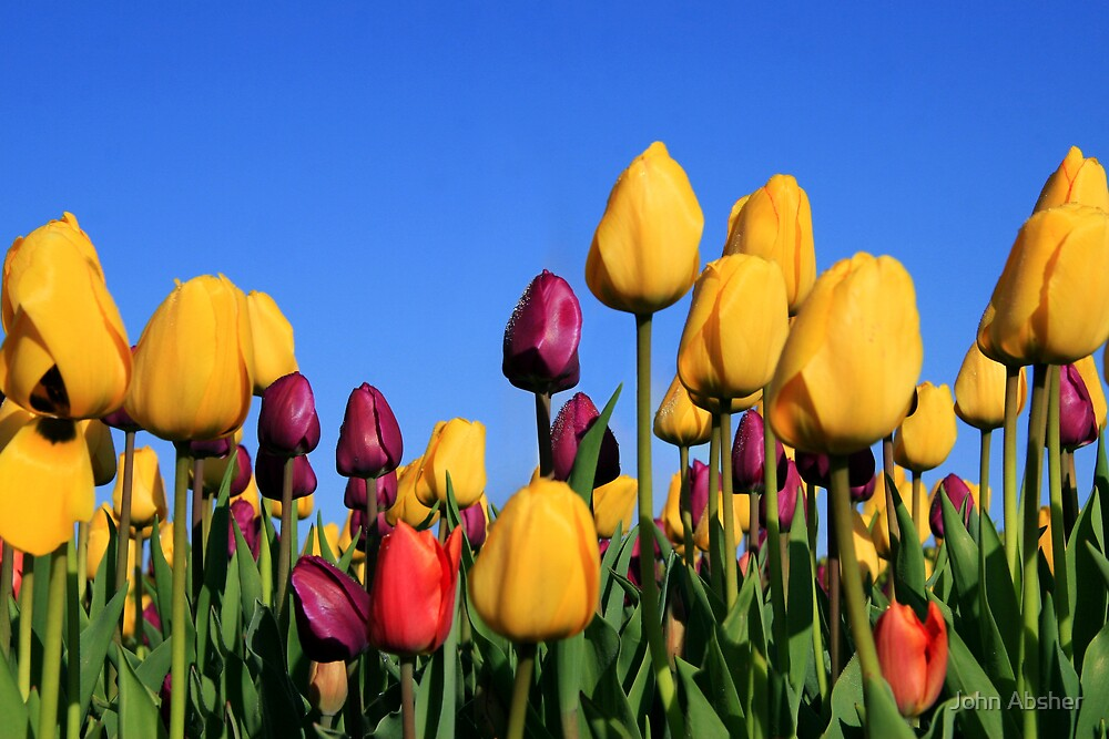 Tulips Galore by John Absher