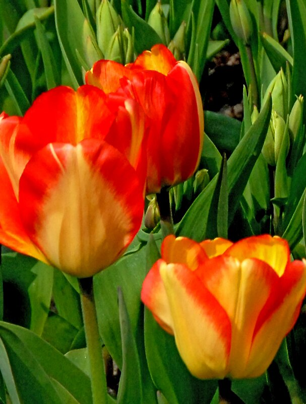Lovely Tulips by satwant