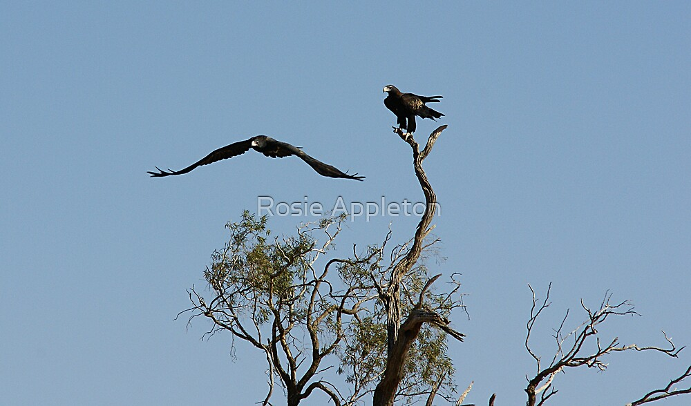"Wedge tailed Eagle ""Aquila audax"" pair by Rosie Appleton"