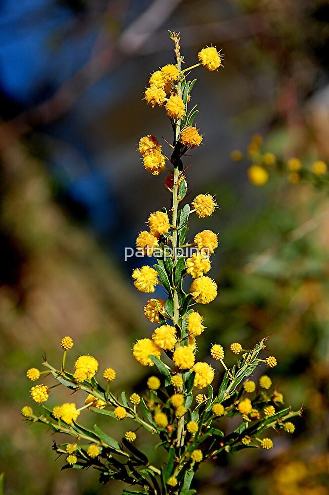 Australian Wattle Flower by patapping