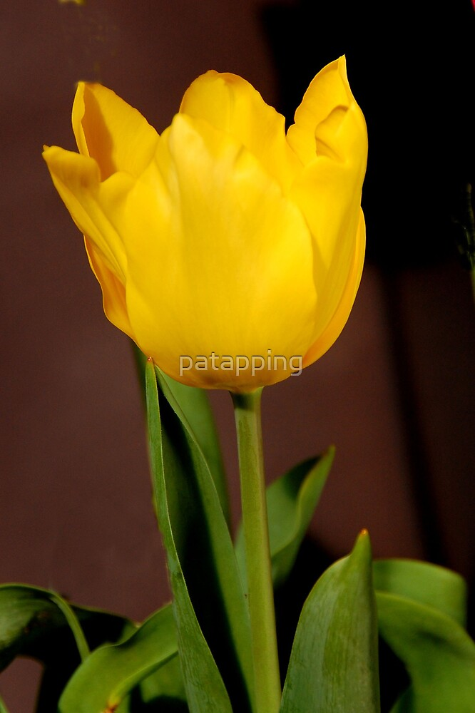 Tulip by patapping