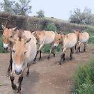 Prezhwalski Horses by KZBlog