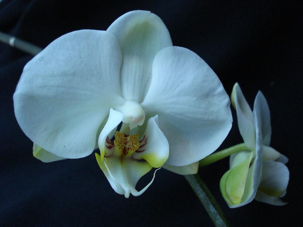 phalaenopsis orchid by dawny