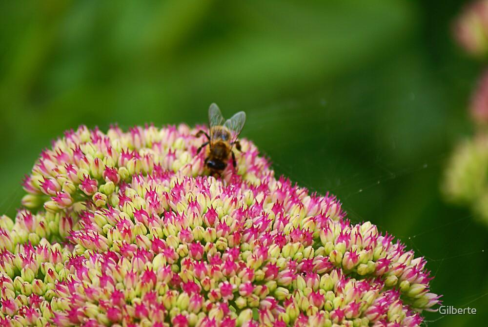 Bee on Sedum by Gilberte