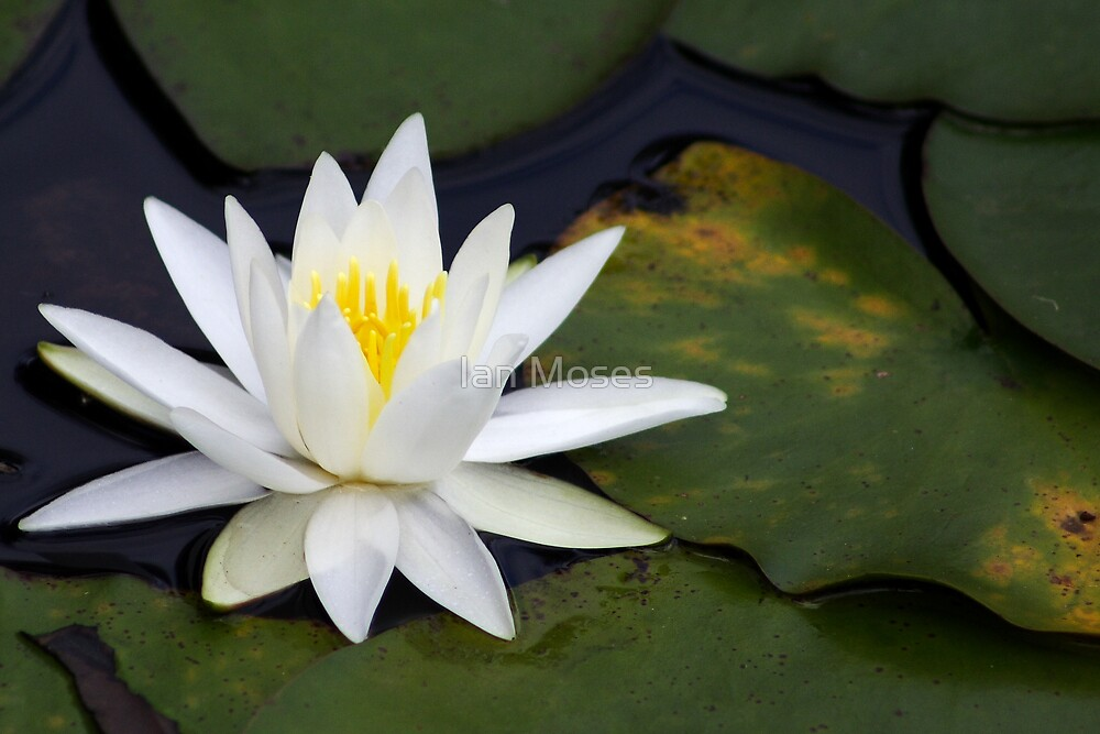 White Lilly by Ian Moses